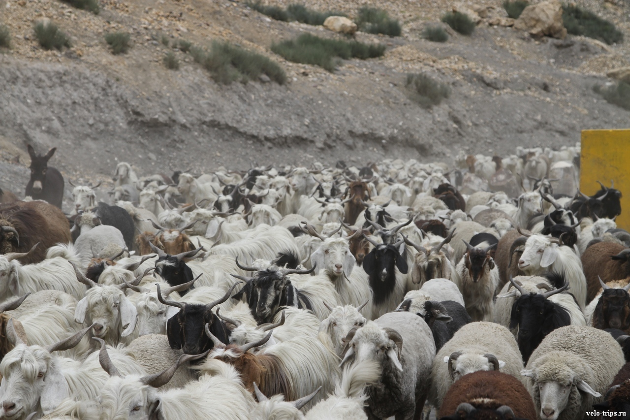 Goats and asses on the road along Spiti river