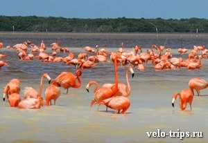 Mexico. Pink flamingos in Celestun