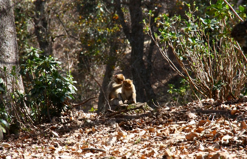 Morocco. Monkeys in the forest