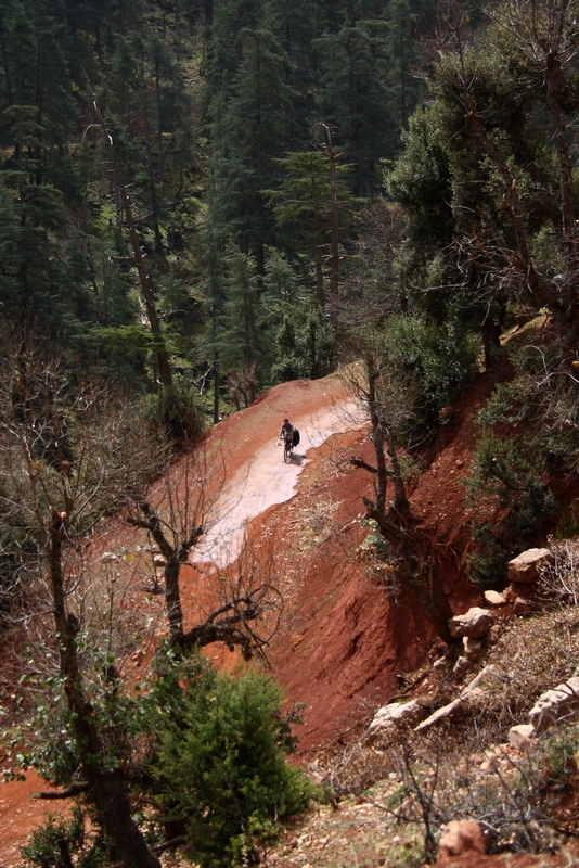 Morocco. Cyclist on the road in pine tree forest