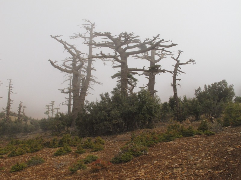 Morocco, Cirque du Jaffar. Big bare trees in the mist