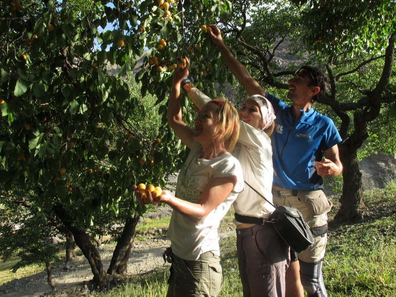 Tajikistan, Zeravshan river. Picking apricots from tree
