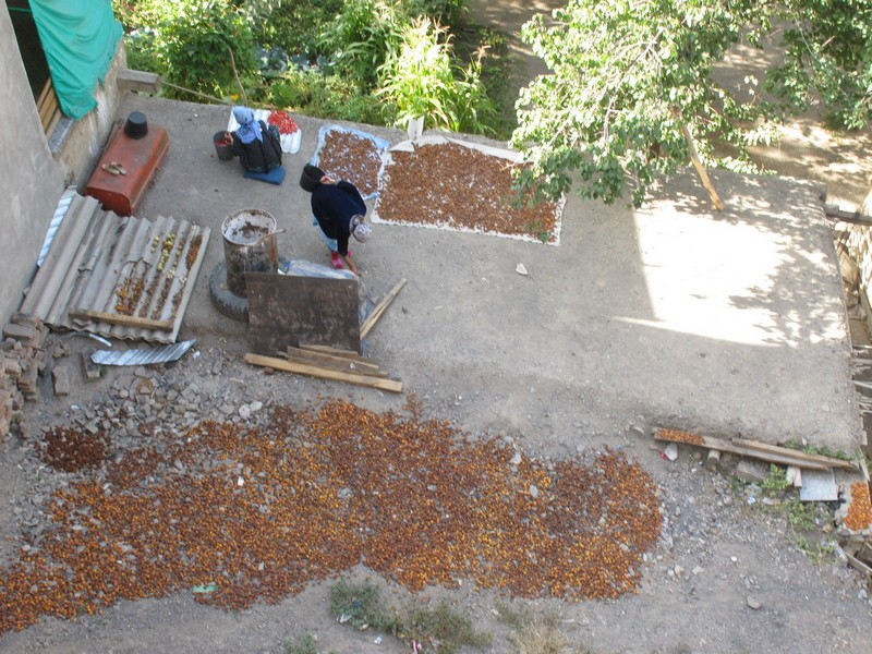 Ayni - Panjakent. Drying apricots on stones